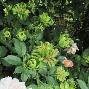 ロサ キネンシス ヴィリディフローラ・四季咲きバラの苗/オールドローズ:グリーンローズ大苗