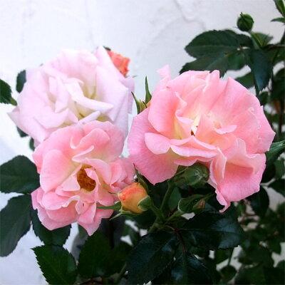 グランドカバー・ハンギング用多花性バラ グランドカバー用多花性バラドリフトローズ:ピーチド...