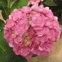 ユーミーシリーズ 育てるアジサイ 花木 庭木の苗/アジサイ:カリッジ3.5号ポット