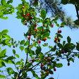 果樹の苗/グミ:ナツグミ3?4号ポット
