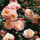 木バラタイプ 返り咲き修景用バラ:ウーメロ新苗