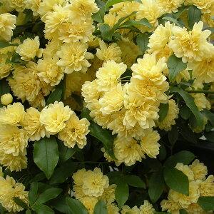 フェンスやトレリスにおすすめのもっこうばらバラの苗/モッコウバラ:黄花八重咲き3号ポット