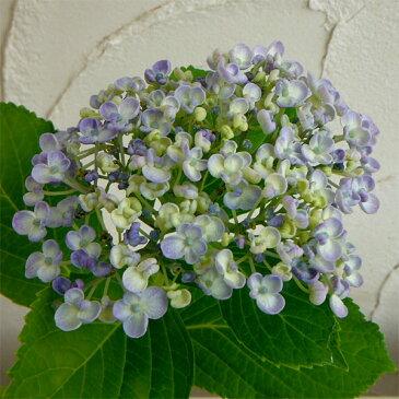 花木 庭木の苗/アジサイ:ウズアジサイ3〜3.5号ポット