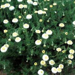 ハーブ苗 八重咲き種類の苗ハーブの苗/カモミール:ダブルフラワーカモミール3号ポット2株セット