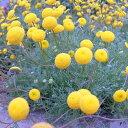 fセレクト低 グランドカバーや鉢植えに!草花の苗/コツラ:バルバータ 3号ポット2株セット
