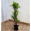観葉植物/緑の楽園:ドラセナ マッサンゲアナ8号鉢植え(受皿付)