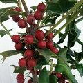 花木庭木の苗/クリスマスホーリー4号ポット