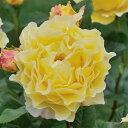 バラ ばら 薔薇 ローズデルバールローズ:フランス・アンフォ大苗6号角鉢植え