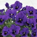 【ラッキーシール対応】草花の苗/パンジー:よく咲くスミレブルーハワイ3〜3.5号ポット4株セット