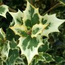 花木 庭木の苗/ヒイラギ:斑入ヒイラギ6号ポット