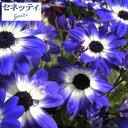 草花の苗/サイネリア:セネッティ豪華咲きブルーバイカラー3....
