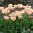 球根/チューリップ(八重咲き):クリームアップスター4球入り - 園芸ネット プラス