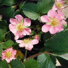 【ピンクの花が可愛いハーブ苗】ハーブの苗/ワイルドストロベリーピンクパンダ3号ポット2株セット