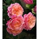 繰り返し咲き ロマンティックな花形と色合いのフレンチローズ!バラの苗/ギヨーローズ:プリP.J...