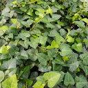 植物 ヘデラ