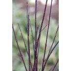 花木 庭木の苗/サンゴミズキ(コルヌスアルバ):黒宝サンゴミズキ(ケッセルリンギー)4号ポット15株セット