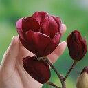 花木 庭木の苗/モクレン(マグノリア):ジェニー4号ポット[532P19Mar1…