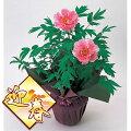 花木庭木の苗/[予約]お正月咲牡丹(ボタン):1鉢2輪咲き鉢植え