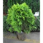 花木 庭木の苗/ニオイヒバ:グロボーサオーレア8号ルートバック高さ約70cm