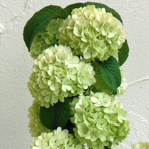 花木 庭木の苗/オオデマリ(大手毬)6号ポット