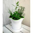ハーブの苗/ハーブ4種のハーブポット栽培セット:イタリアンパセリ・セージ・チャイブス・ローズマリー