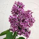 芳香のある小花をたくさん咲かせます。人気の覆輪品種!花木 庭木の苗/ライラック:センセーシ...