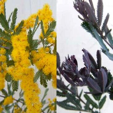 花木 庭木の苗/アカシア:ギンヨウアカシアプルプレア6号ポット