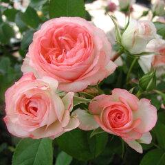 オベーションシリーズポットローズ:ミニバラ・ホワイトピーチオベーション4号プラ鉢植え