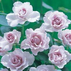 河本バラ園作出四季咲中輪バラ:ミスティパープル大苗3.5号ロングポット