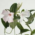 草花の苗/マンデビラ:ホワイトデライト3号ポット