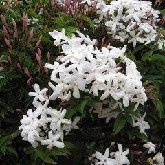 ホワイトガーデンに 香りの良い春の花つる性草花の苗/ハゴロモジャスミン(羽衣ジャスミン)3〜...