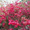 秋の紅葉が美しい中低木花木 庭木の苗/ニシキギ(錦木) 5号ポット