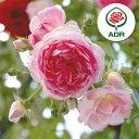 愛らしい一季咲き強健種 ADR受賞つるバラ:ジャスミーナ新苗