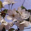大型 サクラ・エドヒガン系花木 庭木の苗/桜:衣通姫(ソトオリヒメ)接木苗4〜5号ポット