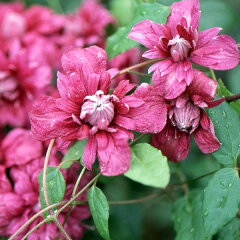 クレマチスの苗/クレマチス:パープレア プレナ エレガンス4.5号(ビチセラ系・八重咲)