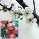 ピンクの梅酒ができる!果樹研究所育成品種 苗木果樹の苗/ウメ(梅):露茜(つゆあかね)4〜5...