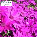 草花の苗/サイネリア:セネッティ豪華咲きレッド3.5号ポット...