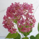 新枝咲きタイプ花木 庭木の苗/アジサイ:アナベルピンク3〜3.5号ポット