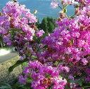 百日紅 藤桃色でうどん粉病に強い品種花木 庭木の苗/サルスベリ:ディアパープル6号ポット