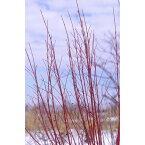 花木 庭木の苗/サンゴミズキ(コルヌスアルバ):緑葉4号ポット15株セット