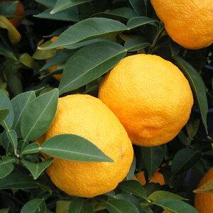 香り高い酢ミカンの代表 柑橘・かんきつ類苗木果樹の苗/本柚子(ホンユズ)4?5号ポット