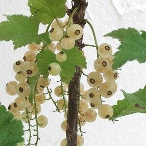 透明感のある白い果実 苗木果樹の苗/カシス:白フサスグリ(ホワイトカーラント)5号ポット