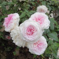 チャイナローズ 四季咲きオールドローズ:粉粧楼(ふんしょうろう)新苗