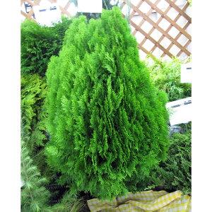 列植え・生垣に!花木 庭木の苗/オウゴンコノテ(黄金コノテガシワ)8号樹高80cm