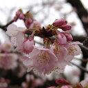 サクラ・カンヒザクラ系花木 庭木の苗/桜:熱海寒桜(アタミカンザクラ)接木苗4〜6号ポット