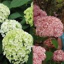 人気のアメリカアジサイ花木 庭木の苗/アジサイ:アナベル2種セット(白花・ピンク花)