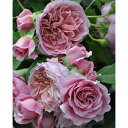 四季咲き 河本バラ園作出バラの苗/つるバラ:ローブ・ア・ラ・フランセーズ大苗6号角鉢植え