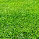 芝の種(業務用):西洋芝ハードフェスク普通種1kg