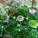 草花の苗/ラナンキュラス:リビエラ フェスティバル混合3.5号ポット