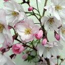 大型 サクラ・エドヒガン系花木 庭木の苗/桜:思い川(オモイガワ)接木苗4〜5号ポット